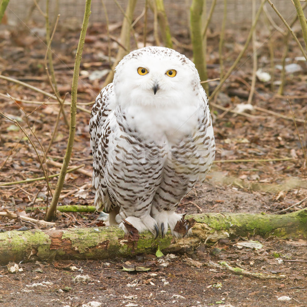 Snow owl with large claws Stock photo © michaklootwijk