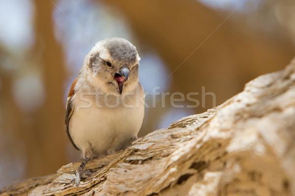Jovem pardal espécies Namíbia natureza pena Foto stock © michaklootwijk