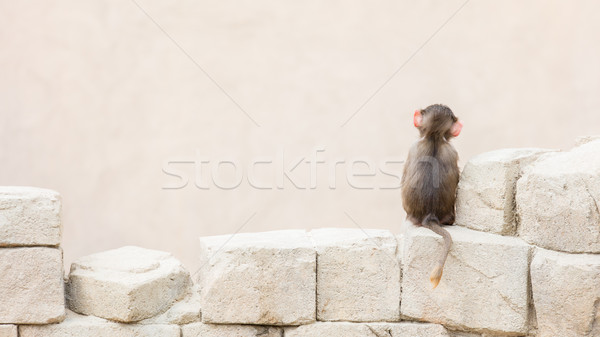 Baby baboon sitting on the rocks Stock photo © michaklootwijk