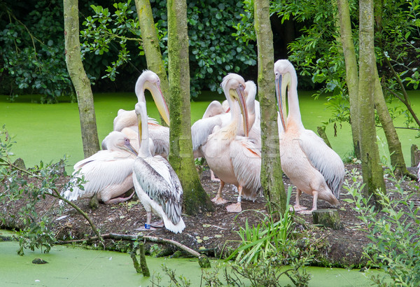Group of pelicans Stock photo © michaklootwijk