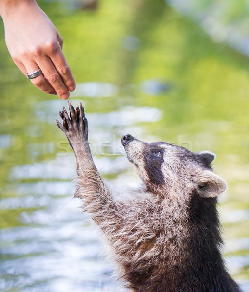 Racoon begging for food Stock photo © michaklootwijk