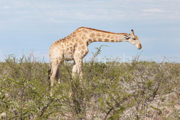 Zsiráf Namíbia park Afrika természet test Stock fotó © michaklootwijk