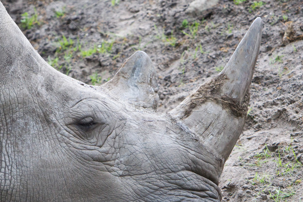 Close-up of a white rhino Stock photo © michaklootwijk