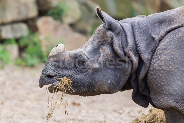 Stock photo: Close-up of an Indian rhino