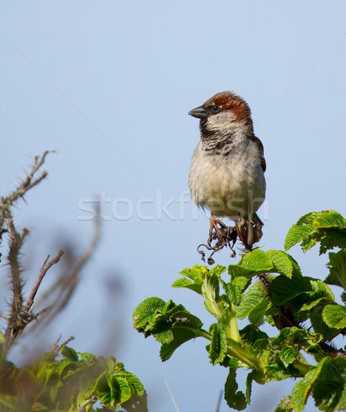Pardal céu casa pássaro voar animal Foto stock © michaklootwijk