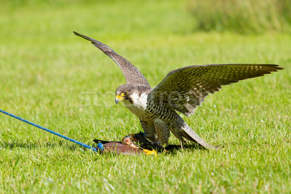 A falcon in captivity Stock photo © michaklootwijk