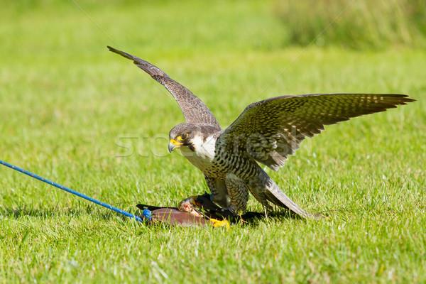 Halcón cautiverio formación deporte naturaleza aves Foto stock © michaklootwijk