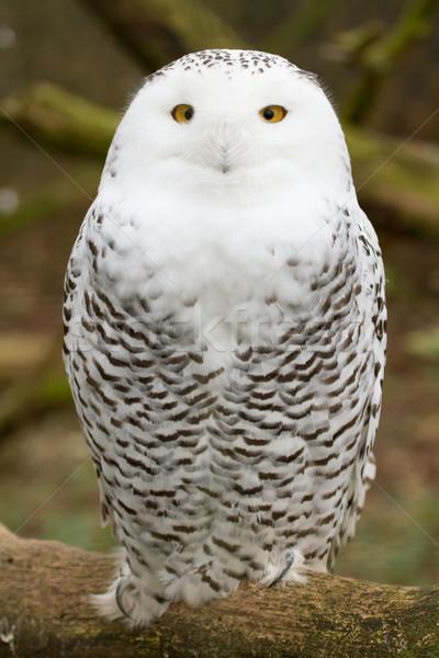A snow owl Stock photo © michaklootwijk