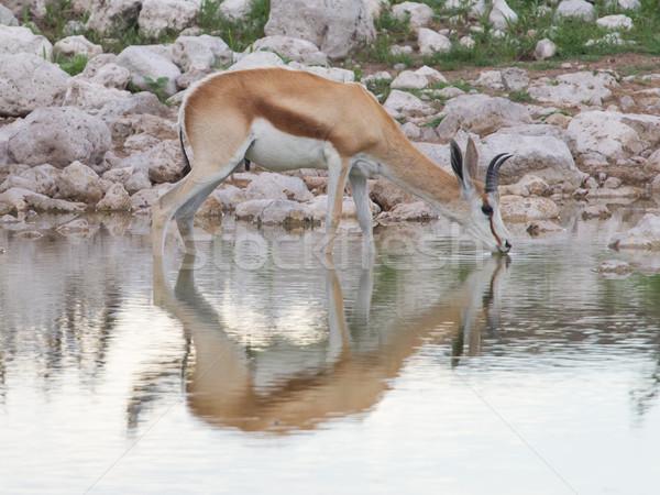 Springbok antelope (Antidorcas marsupialis) Stock photo © michaklootwijk