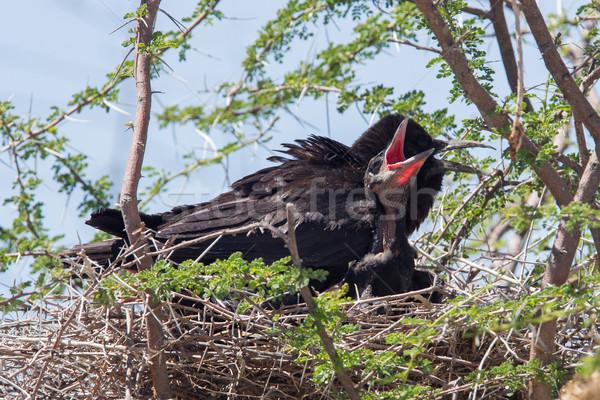 Cape crow (Corvus capensis) Stock photo © michaklootwijk