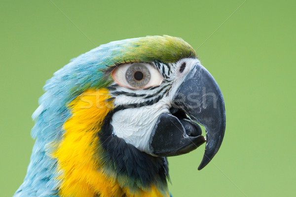 Macaw parrot with a human eye Stock photo © michaklootwijk