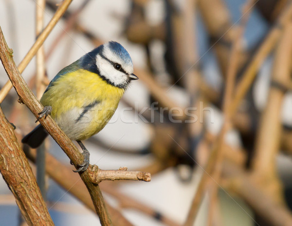 A blue tit in the shrubbery Stock photo © michaklootwijk