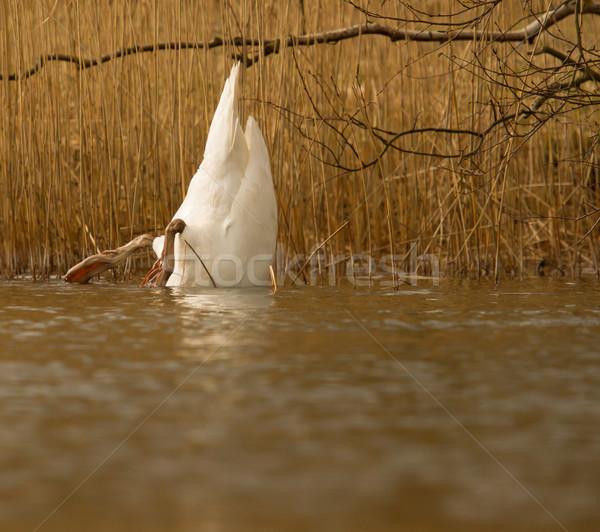 Comer cisne holandés lago jardín belleza Foto stock © michaklootwijk