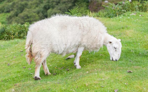 White woolly sheep Stock photo © michaklootwijk