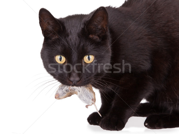 Black cat with his prey, a dead mouse Stock photo © michaklootwijk