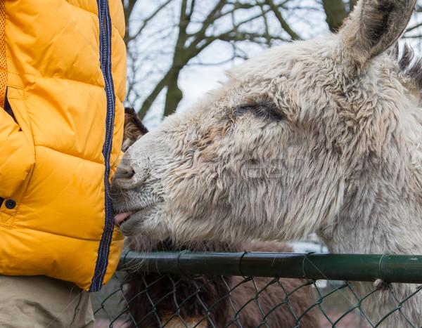 Donkey seeking attention Stock photo © michaklootwijk