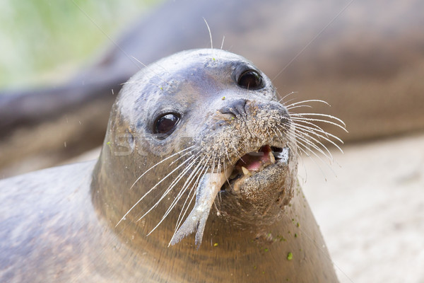 Stock photo: Sea lion closeup, eating fish