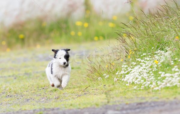 Faible border collie chiot ferme brun bébé Photo stock © michaklootwijk