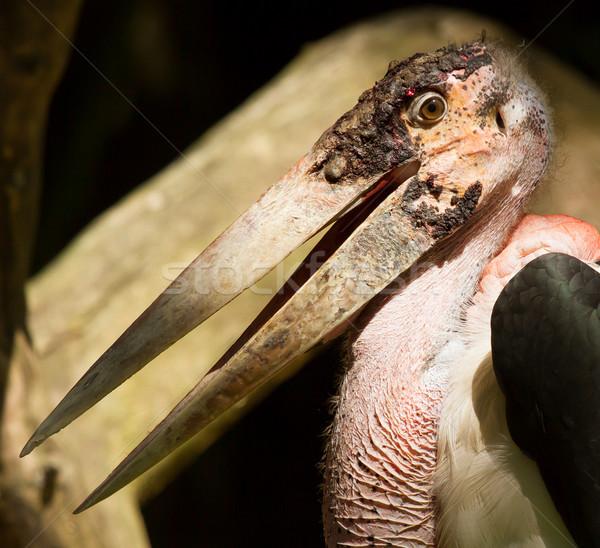 A close-up of an marabu  Stock photo © michaklootwijk