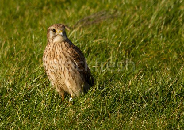 Falcão verde campo holandês pássaro Águia Foto stock © michaklootwijk