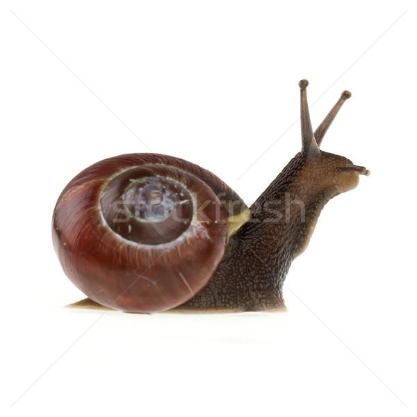 Garden snail (Helix aspersa)  Stock photo © michaklootwijk
