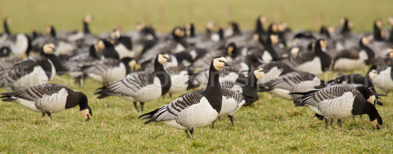 A group of barnacle geese Stock photo © michaklootwijk