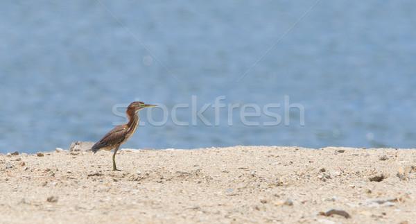 Yeşil balıkçıl yemek kıyı caribbean Stok fotoğraf © michaklootwijk