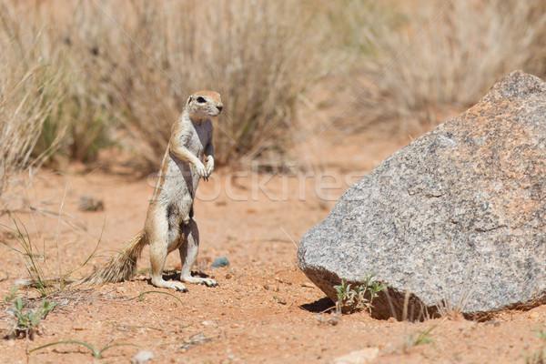 Zemin sincap yeme Namibya yüz Stok fotoğraf © michaklootwijk
