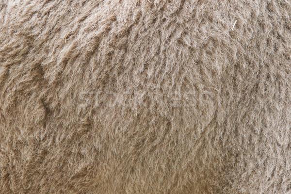 Camelo pele sujo áspero moda Foto stock © michaklootwijk