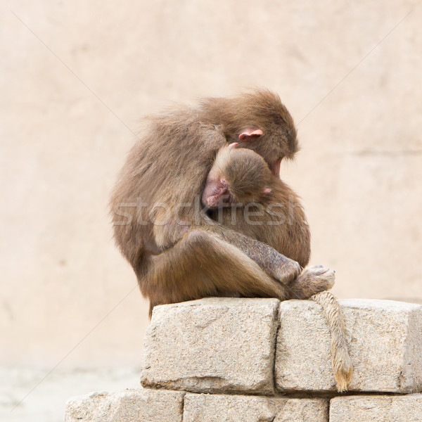 Hamadryas Baboons (Papio hamadryas) Stock photo © michaklootwijk