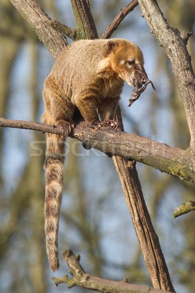 An eating coatimundi in a tree (Holland) Stock photo © michaklootwijk