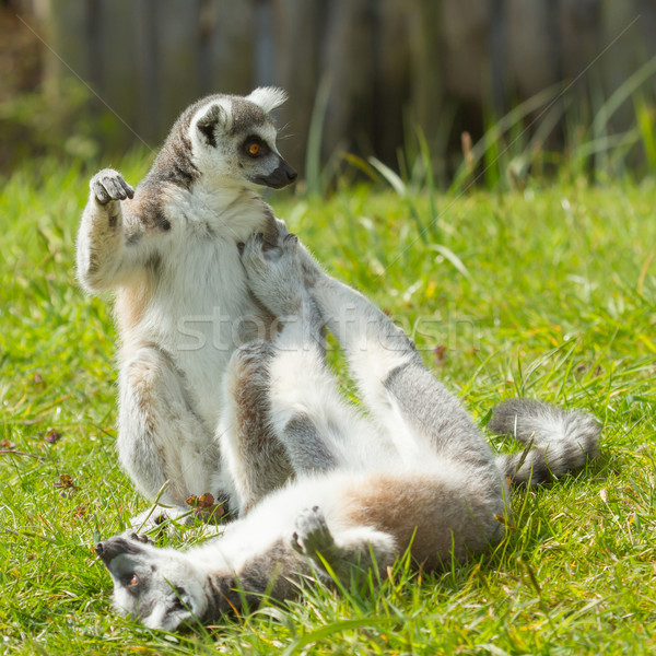 Ring-tailed lemur playing Stock photo © michaklootwijk