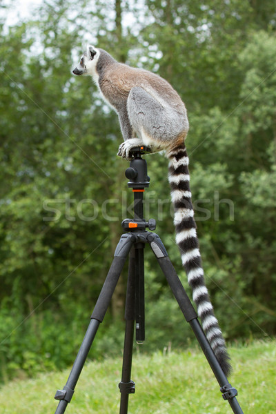 Ring-tailed lemur sitting on tripod Stock photo © michaklootwijk