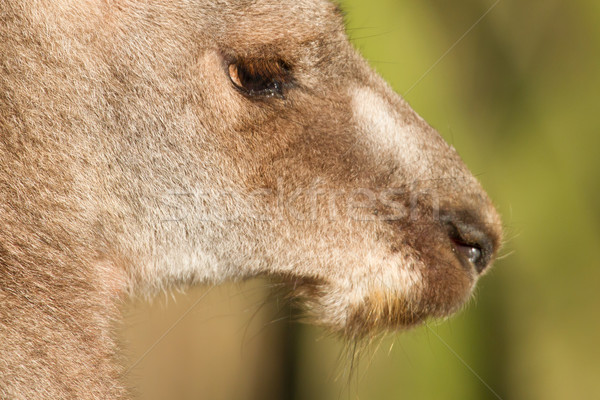 Close-up of an adult kangaroo Stock photo © michaklootwijk