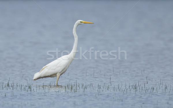 Great white heron Stock photo © michaklootwijk