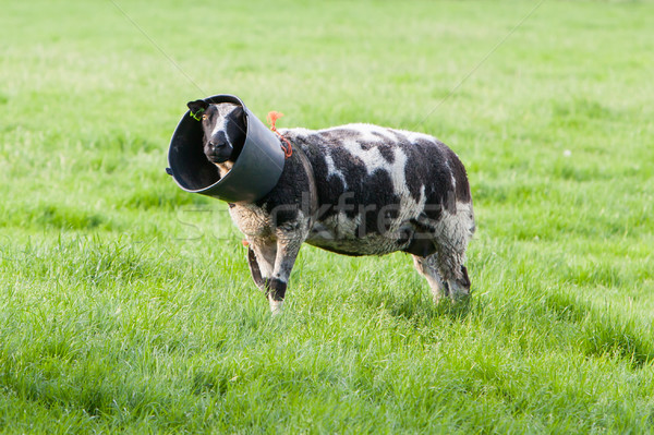 Sheep with a bucket on it's head Stock photo © michaklootwijk
