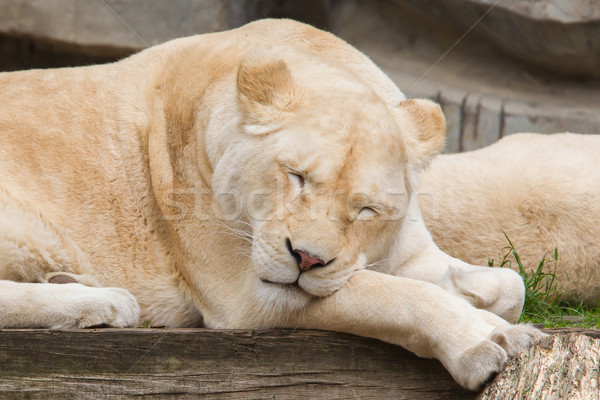 Female African white lion resting Stock photo © michaklootwijk