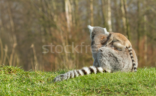 Ring-tailed lemur (Lemur catta)  Stock photo © michaklootwijk