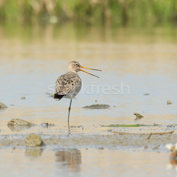Black tailed Godwit in the water Stock photo © michaklootwijk