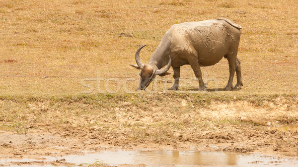 Large water buffalo grazing Stock photo © michaklootwijk