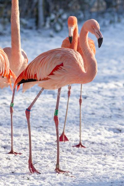 Flamingo in the snow Stock photo © michaklootwijk