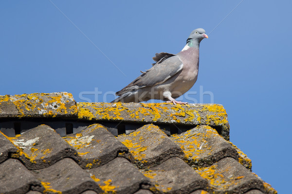 Single pigeon on roof Stock photo © michaklootwijk