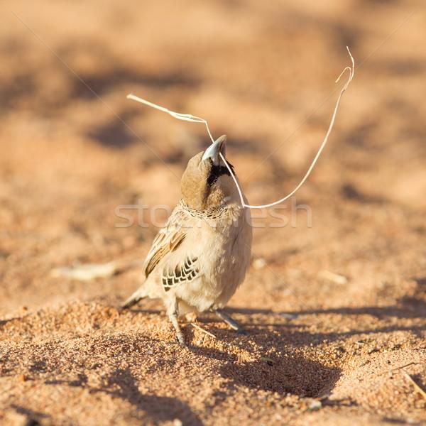 スズメ 種 ナミビア 砂 羽毛 アフリカ ストックフォト © michaklootwijk