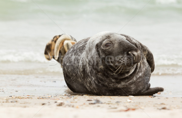 Grigio sigillo spiaggia felice mare sabbia Foto d'archivio © michaklootwijk