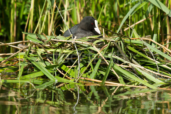 Common coot sitting on a nest  Stock photo © michaklootwijk