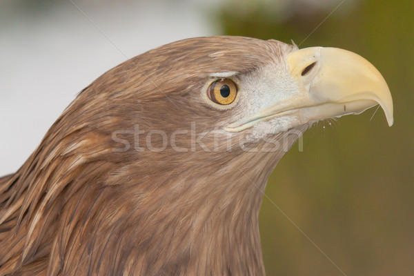 A close-up of an european eagle  Stock photo © michaklootwijk