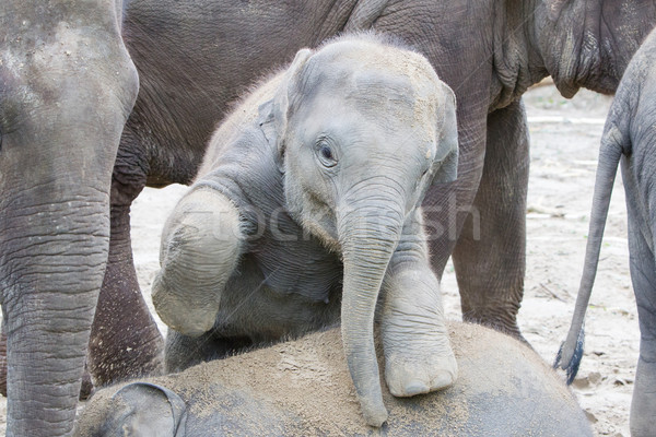 Two baby elephants playing in the sand Stock photo © michaklootwijk