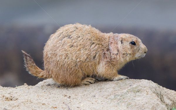 Prairie dog checking out Stock photo © michaklootwijk