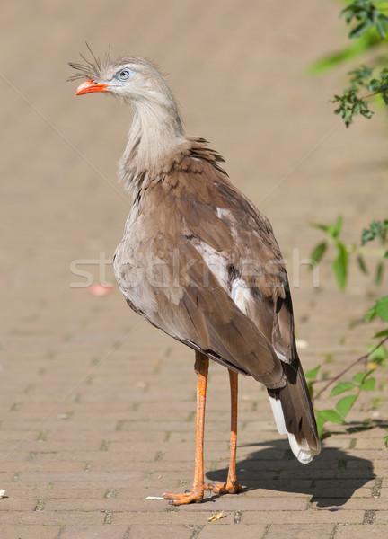 Red-legged seriema or crested cariama (Cariama cristata) Stock photo © michaklootwijk