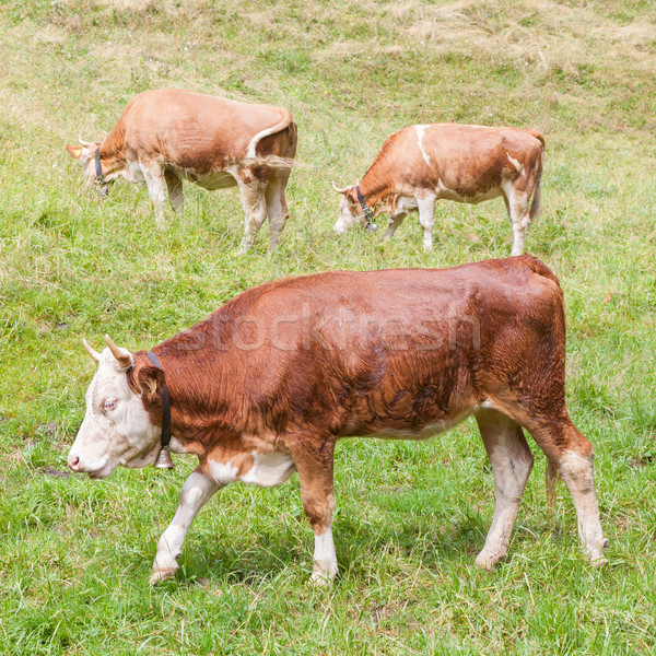 Brown milk cow in a meadow of grass Stock photo © michaklootwijk